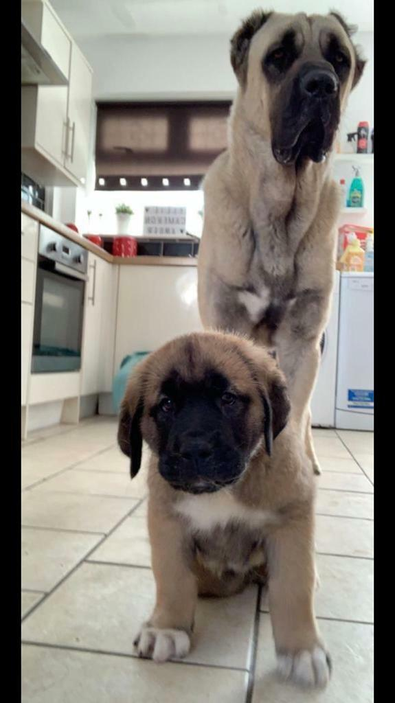 Male Kangal Puppy for sale | in Liverpool, Merseyside | Gumtree