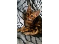 Bengal kitten ,golden brown marble for sale