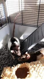 3 Females rats for sale
