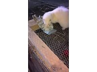 Albino gill Ferret