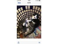 Kittens for sale ready now