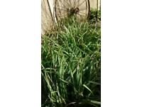 Ornamental Pendulous Sedge ( Carex Pendula), large garden, Carboot