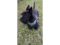 Robbie Scottish terrier with tartan collar red