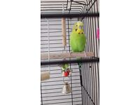 Hand Tame Budgie Male With Big Cage For Sale