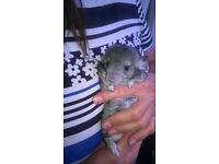 Beautiful Baby Girl Chinchilla, 3Months olg, for sale Now