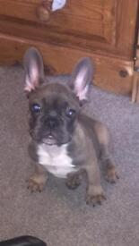 French bulldog pups ready for forever homes