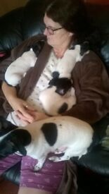 3 jack russell pups for sale.7 weeks old.2 male 1 female.black and white.£200 each.