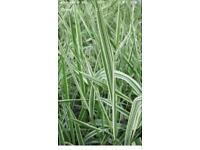 Beautiful water grasses. Pond plants