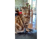 Free to good home. Adult female cat, four years old. Tabby.