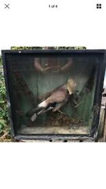 Taxidermy jay - cased