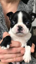 Boston terrier male for sale