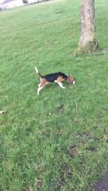 8 month old beagle for sale