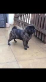 Merle boy pug