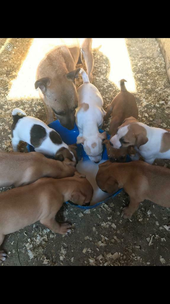 Puppies for sale | in Sheffield, South Yorkshire | Gumtree