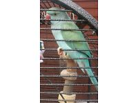 Blue Indian ringneck bird and big cage for sale!
