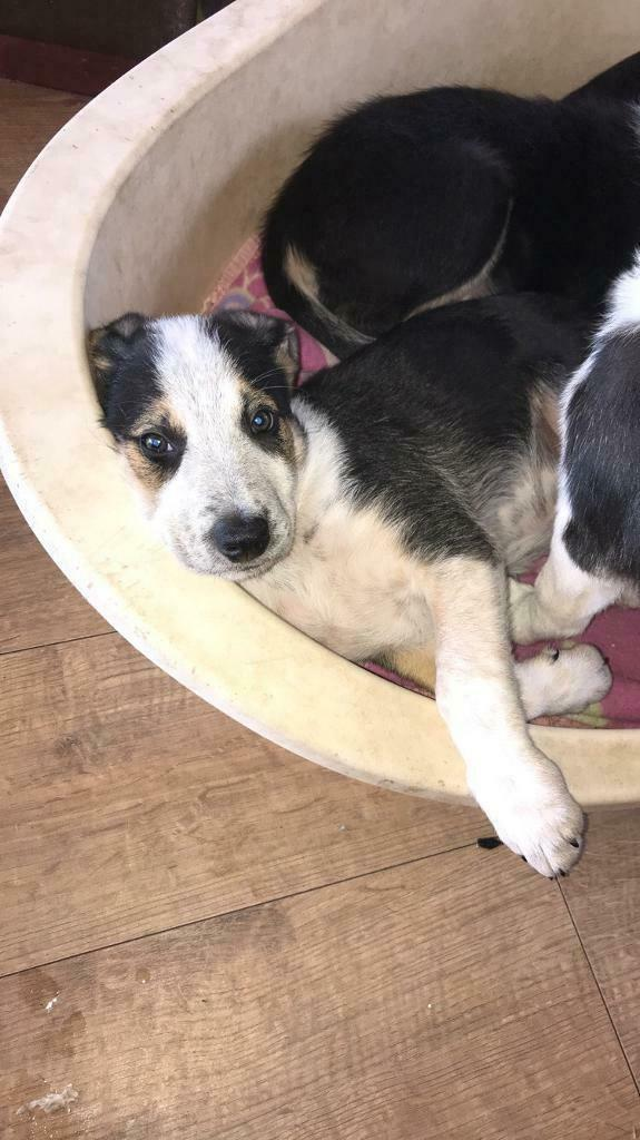 Border collie puppies for sale | in Accrington, Lancashire | Gumtree
