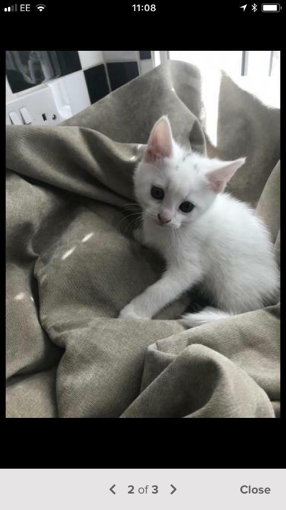 2a89e3a7e1 White Turkish angora female kitten for sale