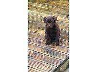 Adorable Boy Chocolate Labrador Puppy