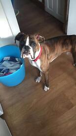 Boxer needs a home.