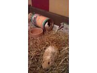 Two friendly guinea pigs Felicity and Hocus require home together