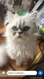 British blue silver point Persian kittens