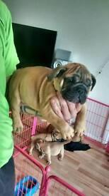Chunky british bulldog pups