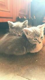 Grey and grey tabby kittens.