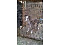 lurcher dog 5 month