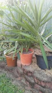 YUCCA Large in Pots Great Landscaping Plants