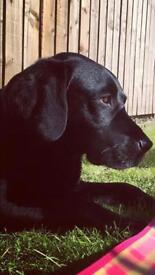 Black Labrador 7 years old
