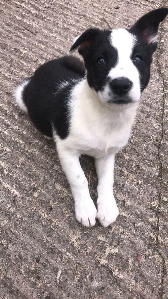 Border Collie puppies for sale | in Moneymore, County Londonderry | Gumtree