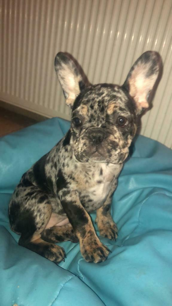 Female Black Tan Merle French Bulldog In West Derby Merseyside