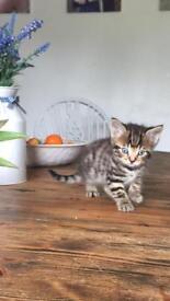 Cross Maine Coon kitten