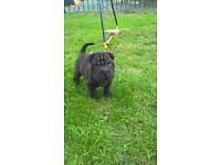 8 weeks lovely brush coat boy shar pei pup
