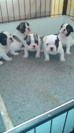 French bulldog puppies pied and double pied