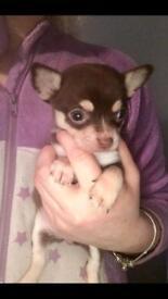 Chocolate applehead chihuahua girl puppy