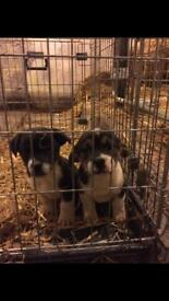 1 female miniature jack russell for sale