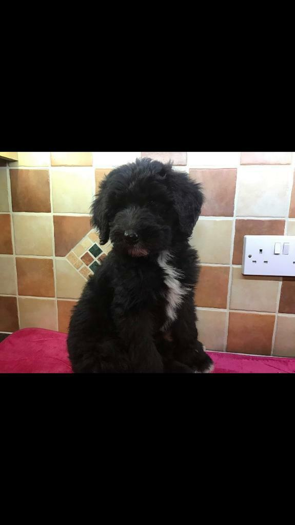 Sheepadoodle | in Armagh, County Armagh | Gumtree