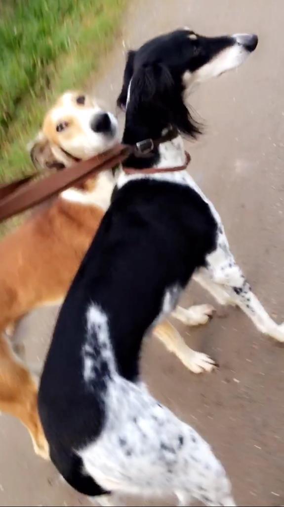 John Lennon bred kc registered saluki puppies