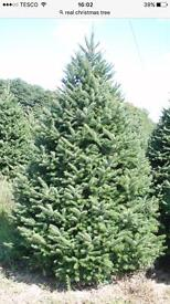 Non drop Scottish blue spruce Christmas trees