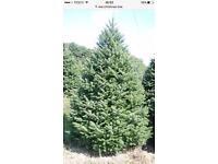 Non drop Scottish blue spruce Christmas trees