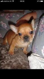 6 Adorable French Bulldogs (E/e Carriers Cream)