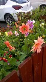 DAHLIA BEDDING PLANTS FOR SALE