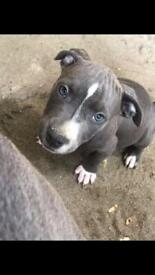 staffordshire terrier puppies looking for home