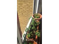 Tomato plants for sale!