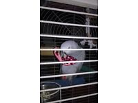 AFRICAN GREY PARROT 10 YEARS OLD