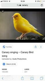 Wanted male canary and cage