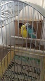 2 budgies with cage for sale £50
