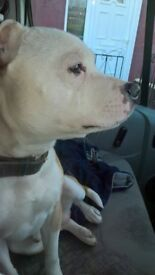 staffy cross 10 months old male. very loving dog