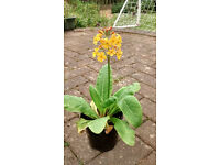 Candelabra primula plants for sale